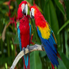 Papagaios, Quebra-Cabeça